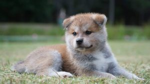 Is a Japanese Akita right for me