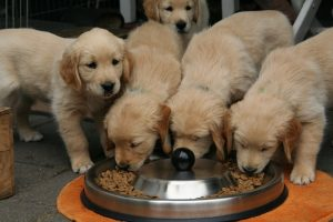 Is a golden retriever puppy right for me
