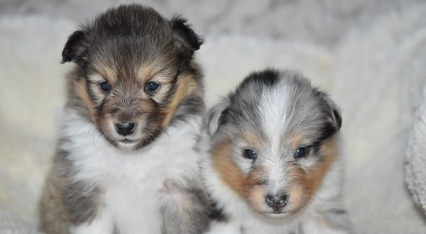 Is a shetland sheepdog right for me