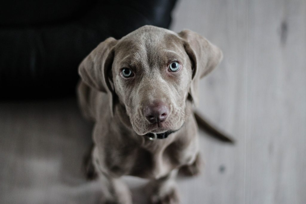 Is a weimaraner right for me