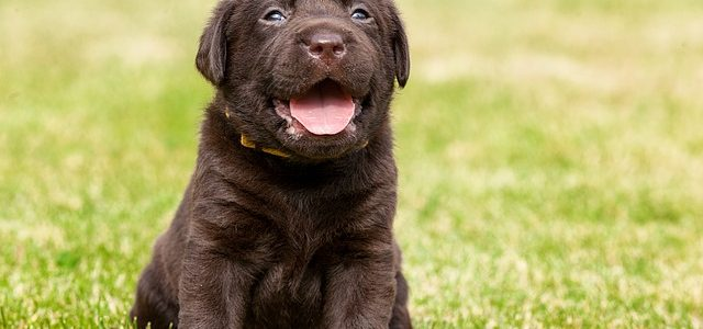 Is a Labrador right for me