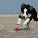 Is a Border Collie right for me