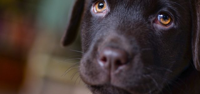 Is a Labrador Puppy Right for Me?