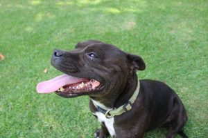 Is a Staffordshire Bull Terrier Puppy Right for Me