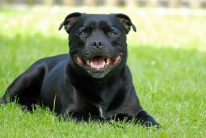 Is-a-Staffordshire-Bull-Terrier-Puppy-Right-for-Me