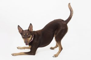 Is a kelpie puppy right for me