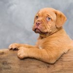 Is a dogue de bordeaux puppy right for me