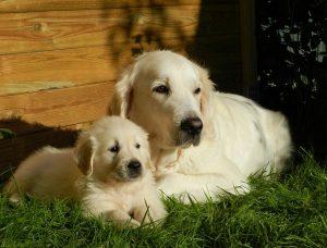 Golden-retriever-puppy-and-mum