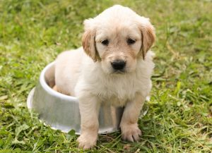 Is-a-Golden-Retriever-puppy-right-for-me