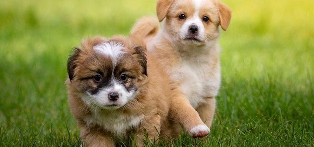 Should I Get a Second Puppy?